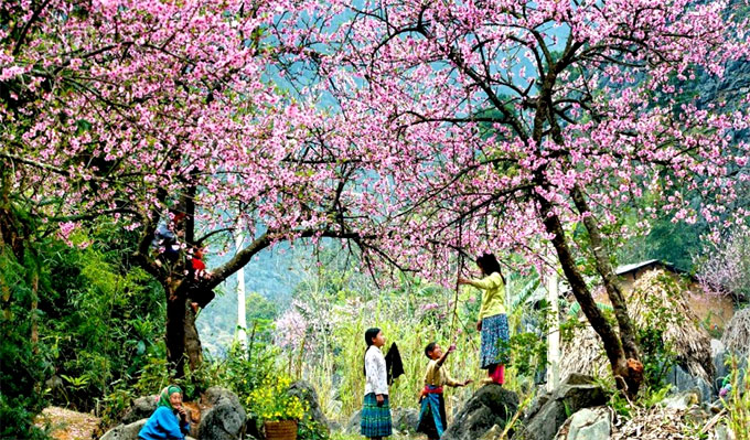 Sa Pa to plant 3,000 cherry trees in tourism push